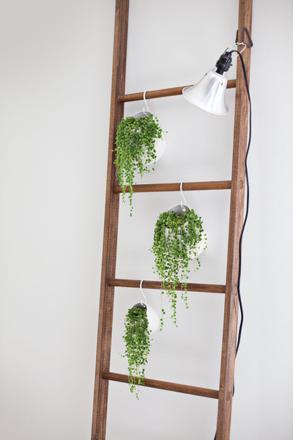 echelle plante