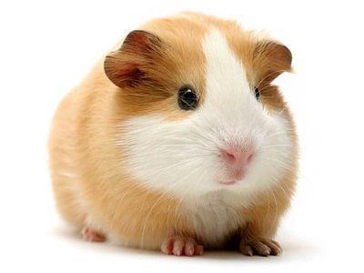 cochon d inde