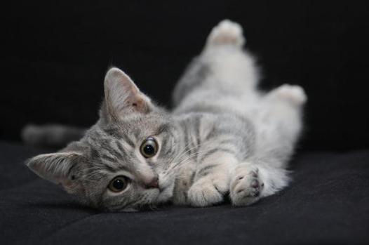 nom de chat gris